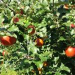 秋のリンゴ狩り「山上観光りんご園」