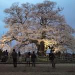 真庭市の醍醐桜(だいごさくら)