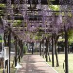 渋川公園の藤棚