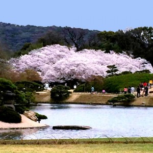後楽園の桜が満開です